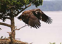 North America Bald Headed Eagle